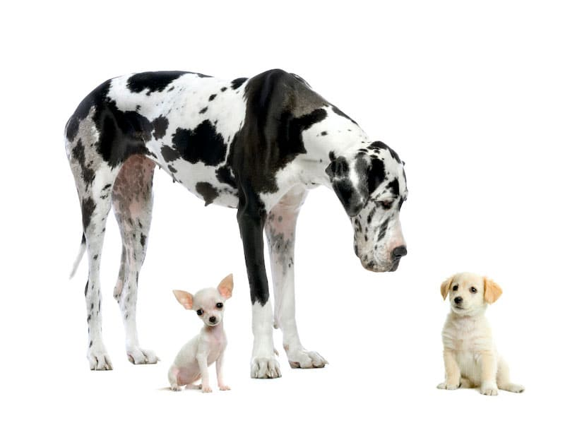 healthy-dogs-great-dane-labrador-chihuahua