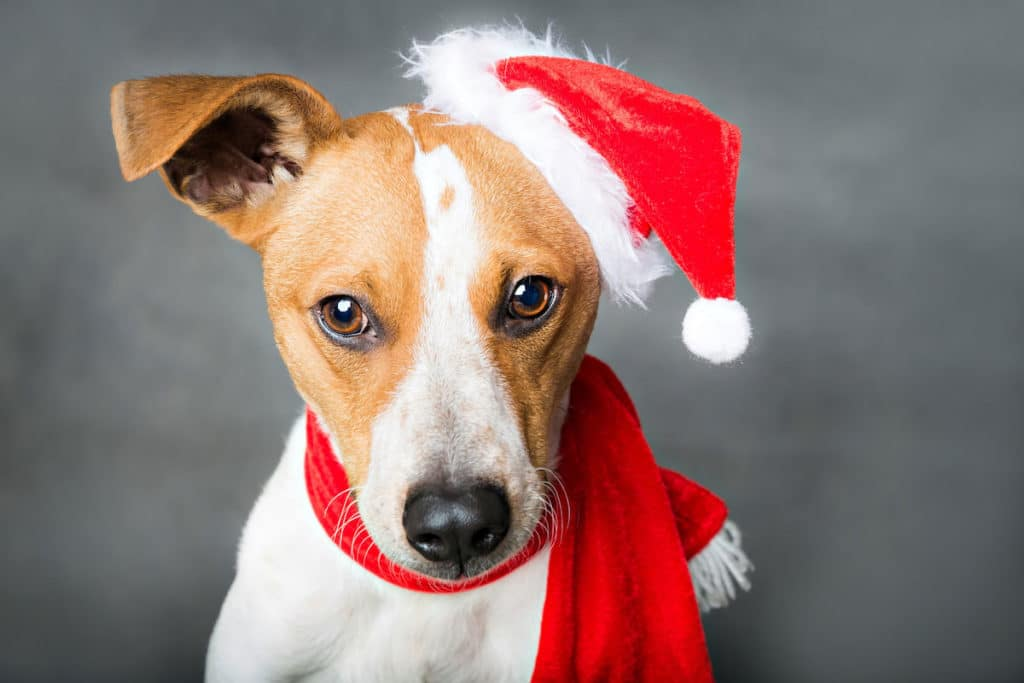 puppy-posing-for-christmas