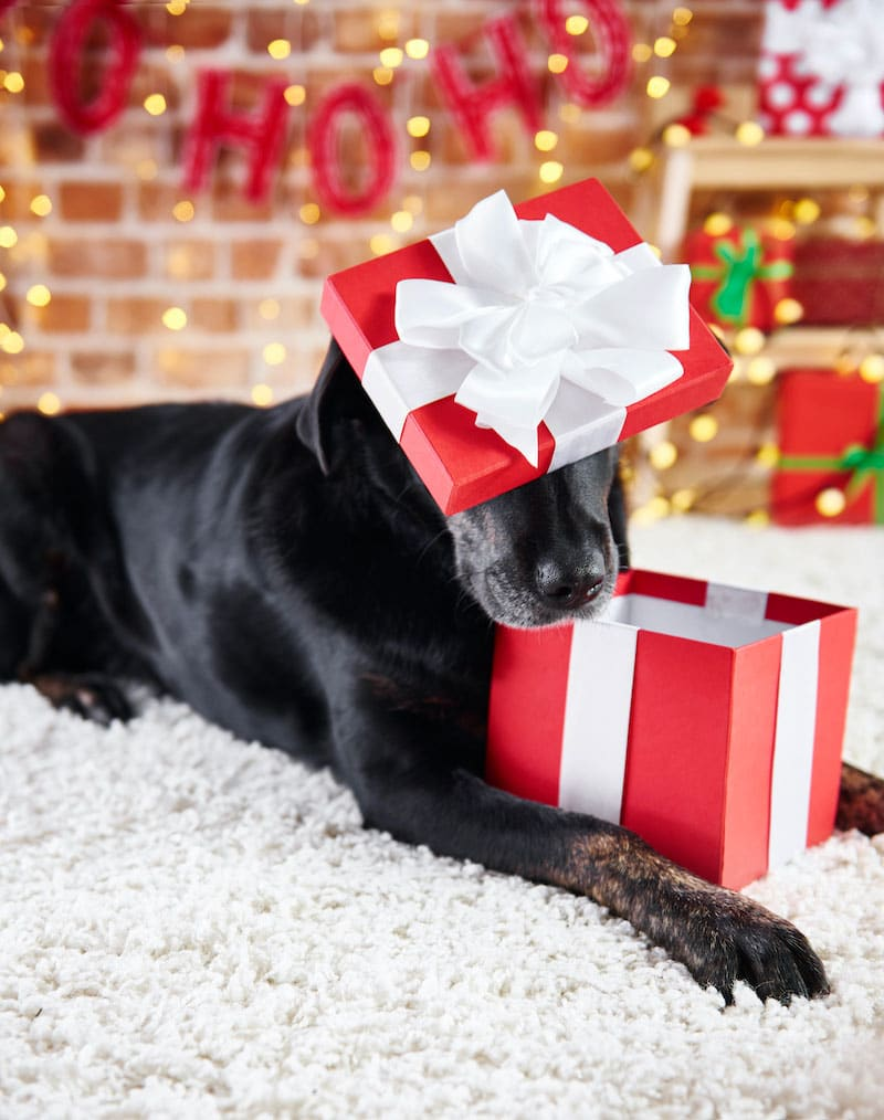 dog opening a Christmas present